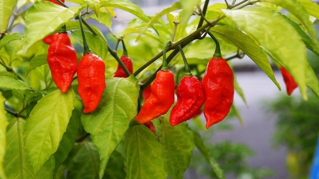 Eating chilies cuts risk of death from heart attack and stroke, Research Says {Taj Pharmaceuticals}